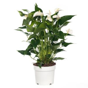 Anthurium wit
